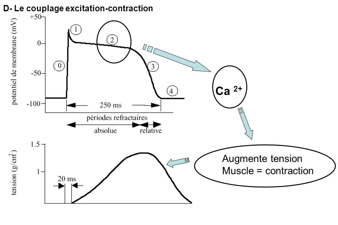 D- Le couplage excitation-contraction Ca 2+ Augmente tension Muscle = contraction