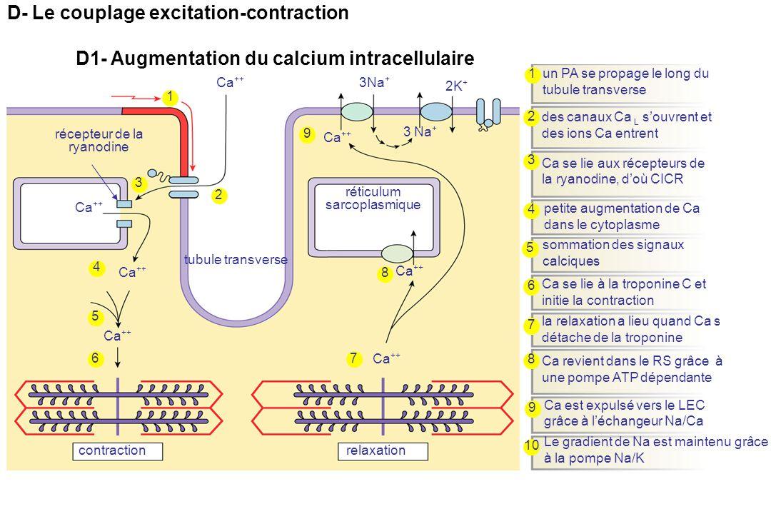 réticulum sarcoplasmique récepteur de la ryanodine tubule transverse 1 1 2 2 3 4 4 3 5 5 Ca ++ 6 6 contraction un PA se propage le long du tubule transverse des canaux Ca L s'ouvrent et des ions Ca entrent Ca se lie aux récepteurs de la ryanodine, d'où CICR petite augmentation de Ca dans le cytoplasme sommation des signaux calciques Ca se lie à la troponine C et initie la contraction relaxation 7 Ca ++ 7 8 8 9 9 3Na + la relaxation a lieu quand Ca se détache de la troponine 10 Ca est expulsé vers le LEC grâce à l'échangeur Na/Ca Le gradient de Na est maintenu grâce à la pompe Na/K Ca revient dans le RS grâce à une pompe ATP dépendante 3 Na + 2K + Ca ++ D- Le couplage excitation-contraction D1- Augmentation du calcium intracellulaire