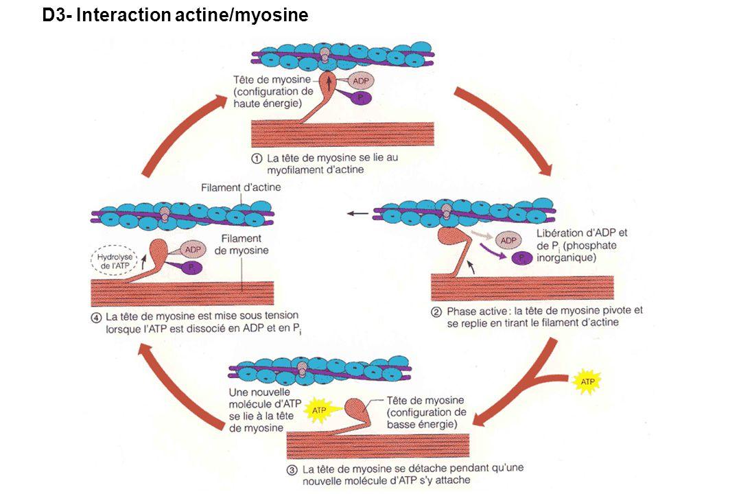 D3- Interaction actine/myosine
