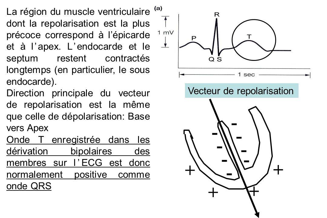 La région du muscle ventriculaire dont la repolarisation est la plus précoce correspond à l'épicarde et à l'apex.