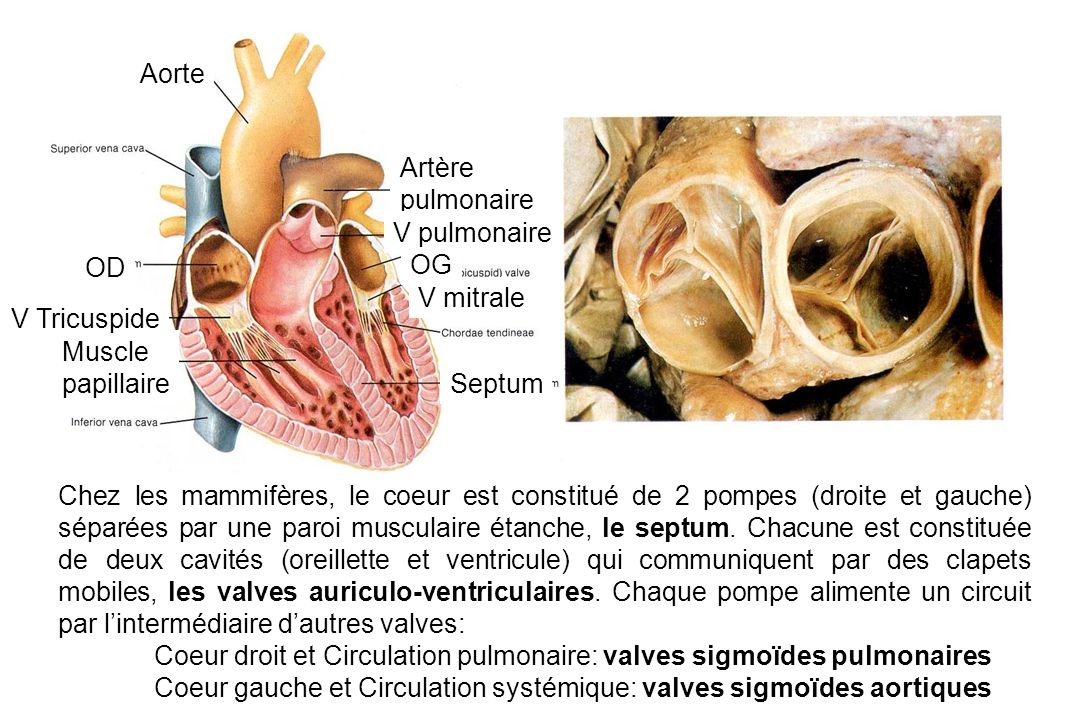 Chez les mammifères, le coeur est constitué de 2 pompes (droite et gauche) séparées par une paroi musculaire étanche, le septum.