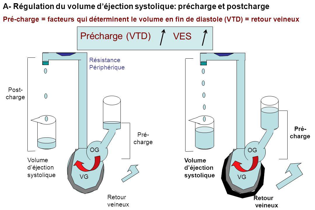Post- charge Pré- charge Volume d'éjection systolique Retour veineux OG VG Résistance Périphérique Pré- charge Volume d'éjection systolique Retour veineux OG VG Pré-charge = facteurs qui déterminent le volume en fin de diastole (VTD) = retour veineux A- Régulation du volume d'éjection systolique: précharge et postcharge Précharge (VTD) VES