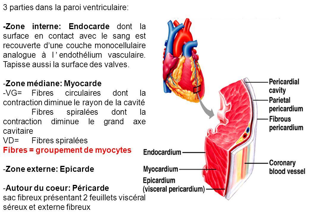 3 parties dans la paroi ventriculaire: -Zone interne: Endocarde dont la surface en contact avec le sang est recouverte d'une couche monocellulaire analogue à l'endothélium vasculaire.