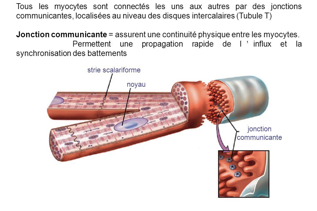 strie scalariforme noyau jonction communicante Tous les myocytes sont connectés les uns aux autres par des jonctions communicantes, localisées au niveau des disques intercalaires (Tubule T) Jonction communicante = assurent une continuité physique entre les myocytes.
