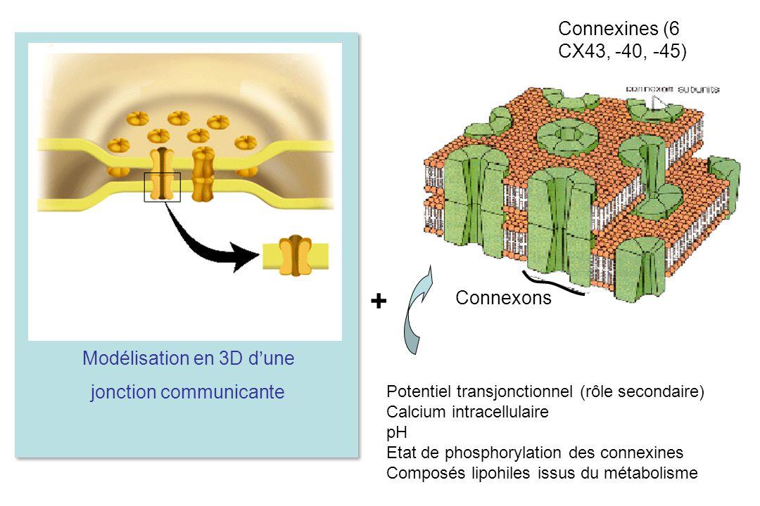 Connexons Connexines (6 CX43, -40, -45) Potentiel transjonctionnel (rôle secondaire) Calcium intracellulaire pH Etat de phosphorylation des connexines Composés lipohiles issus du métabolisme + Modélisation en 3D d'une jonction communicante