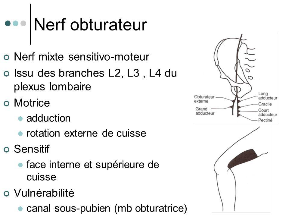 Nerf obturateur Nerf mixte sensitivo-moteur Issu des branches L2, L3, L4 du plexus lombaire Motrice adduction rotation externe de cuisse Sensitif face