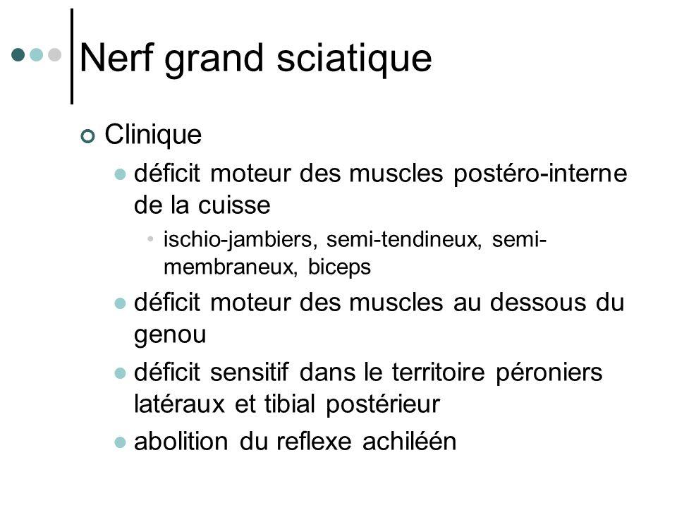 Nerf grand sciatique Clinique déficit moteur des muscles postéro-interne de la cuisse ischio-jambiers, semi-tendineux, semi- membraneux, biceps défici