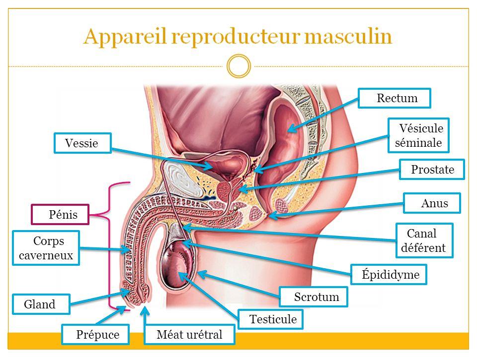 Vessie Corps caverneux Scrotum Testicule Épididyme Canal déférent Anus Prostate Vésicule séminale Rectum Pénis Prépuce Gland Méat urétral