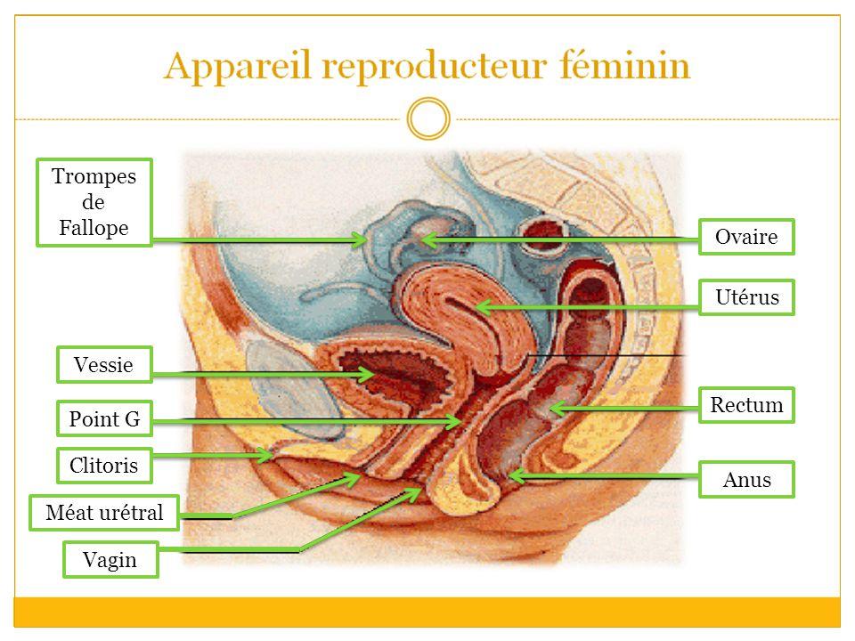 Trompes de Fallope Vessie Point G Clitoris Méat urétral Vagin Ovaire Utérus Rectum Anus