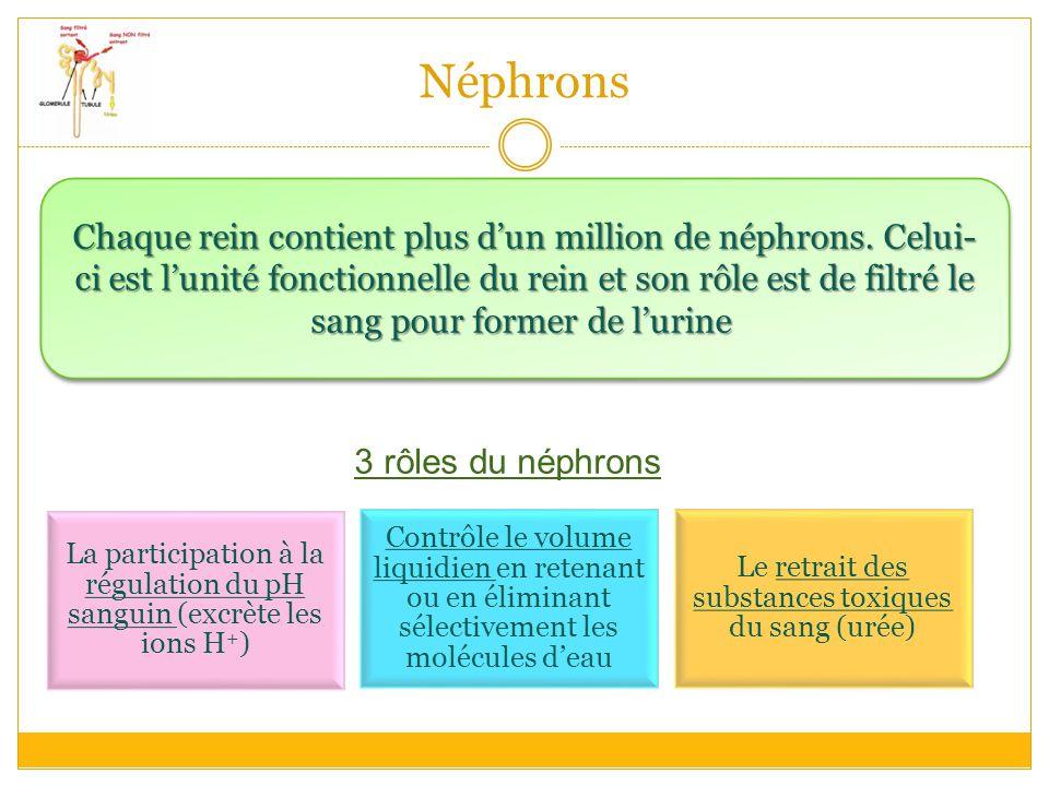 Néphrons Chaque rein contient plus d'un million de néphrons.