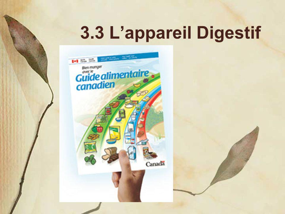 3.3 L'appareil Digestif
