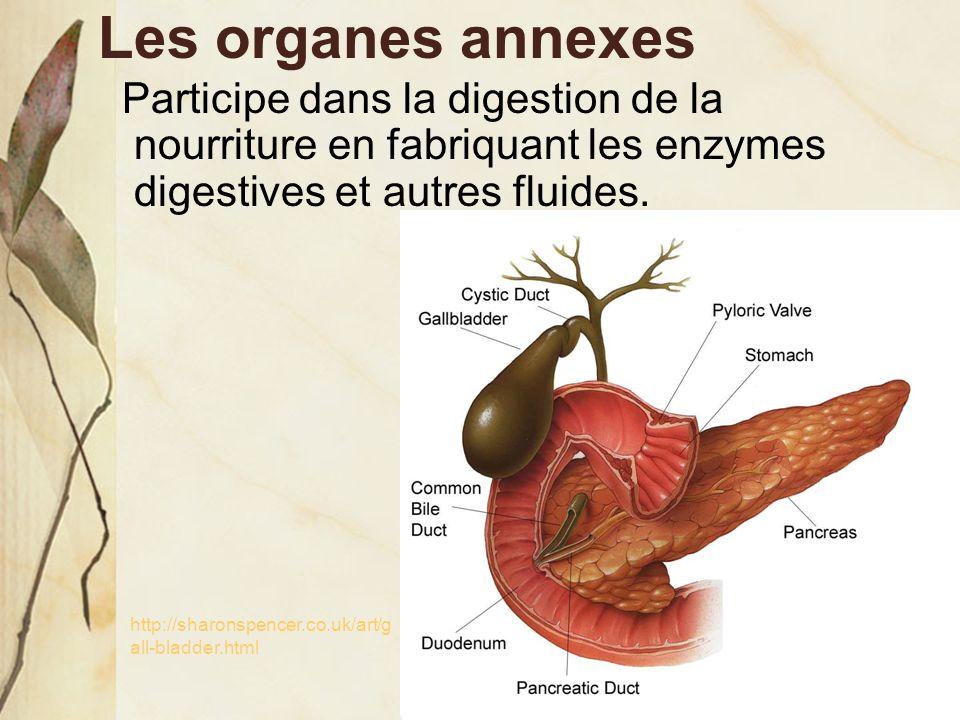 Les organes annexes Participe dans la digestion de la nourriture en fabriquant les enzymes digestives et autres fluides. http://sharonspencer.co.uk/ar