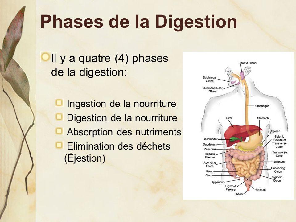 Phases de la Digestion Il y a quatre (4) phases de la digestion: Ingestion de la nourriture Digestion de la nourriture Absorption des nutriments Elimi