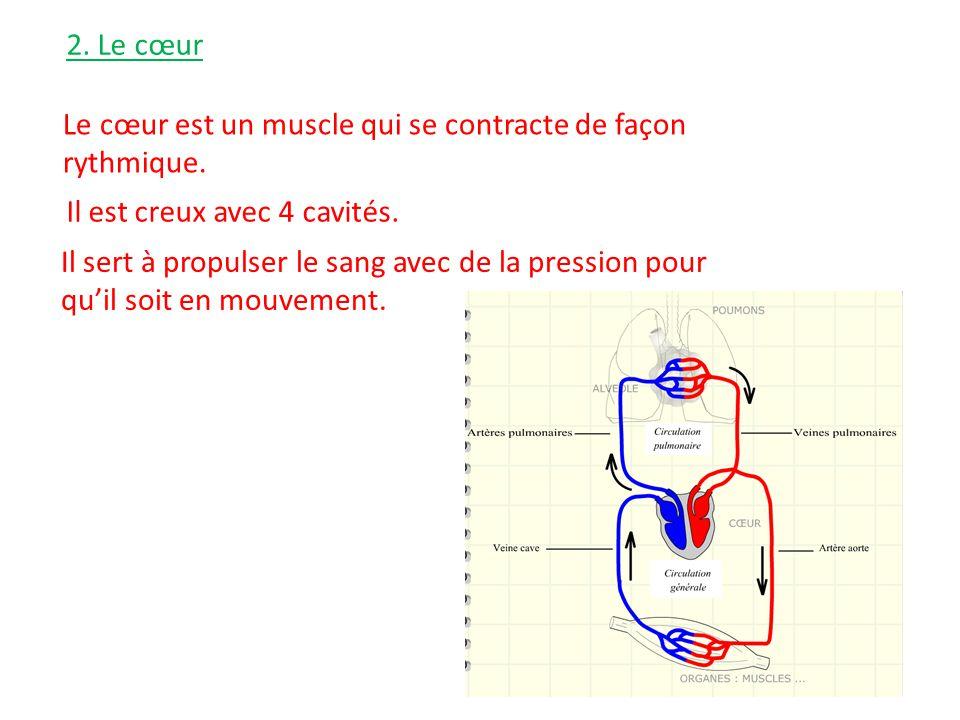 2. Le cœur Le cœur est un muscle qui se contracte de façon rythmique. Il est creux avec 4 cavités. Il sert à propulser le sang avec de la pression pou