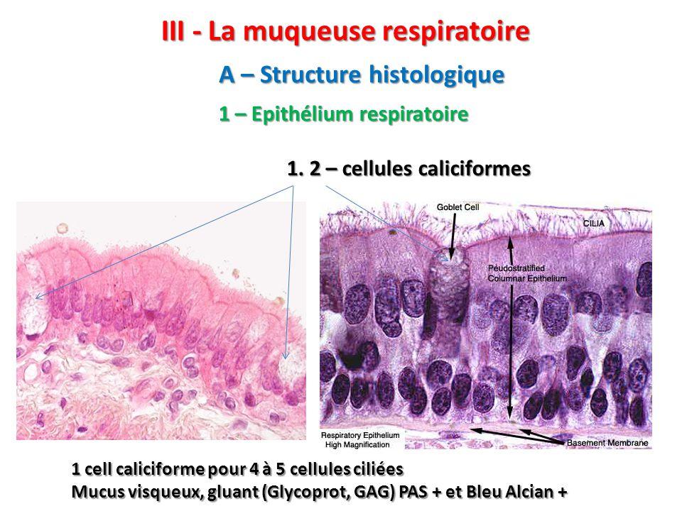 III - La muqueuse respiratoire 1 – Epithélium respiratoire 1.