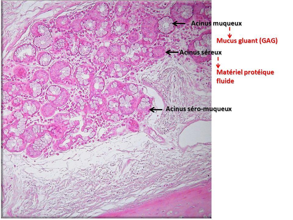 Acinus muqueux Acinus séreux Acinus séro-muqueux Matériel protéique fluide Mucus gluant (GAG)