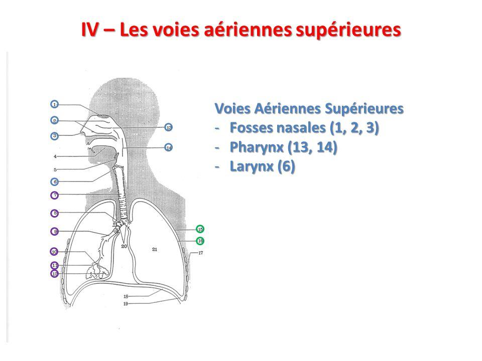 IV – Les voies aériennes supérieures Voies Aériennes Supérieures -Fosses nasales (1, 2, 3) -Pharynx (13, 14) -Larynx (6)