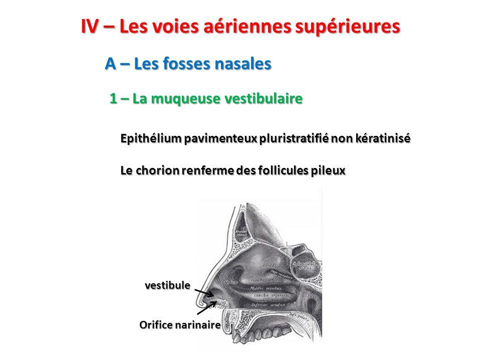IV – Les voies aériennes supérieures A – Les fosses nasales 1 – La muqueuse vestibulaire Epithélium pavimenteux pluristratifié non kératinisé Le chorion renferme des follicules pileux Orifice narinaire vestibule