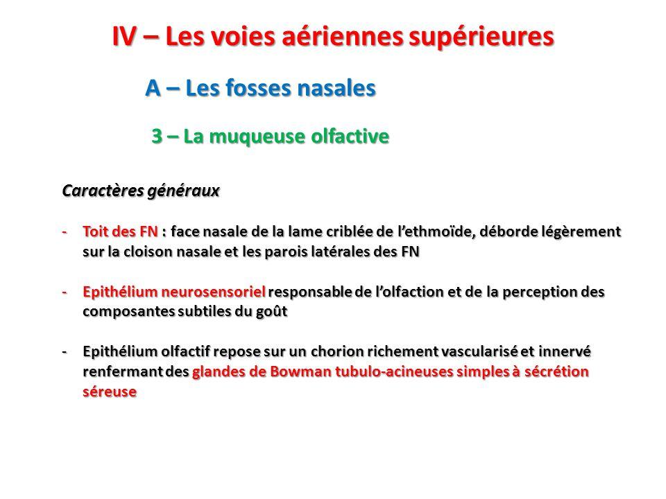 IV – Les voies aériennes supérieures A – Les fosses nasales 3 – La muqueuse olfactive Caractères généraux -Toit des FN : face nasale de la lame criblée de l'ethmoïde, déborde légèrement sur la cloison nasale et les parois latérales des FN -Epithélium neurosensoriel responsable de l'olfaction et de la perception des composantes subtiles du goût -Epithélium olfactif repose sur un chorion richement vascularisé et innervé renfermant des glandes de Bowman tubulo-acineuses simples à sécrétion séreuse