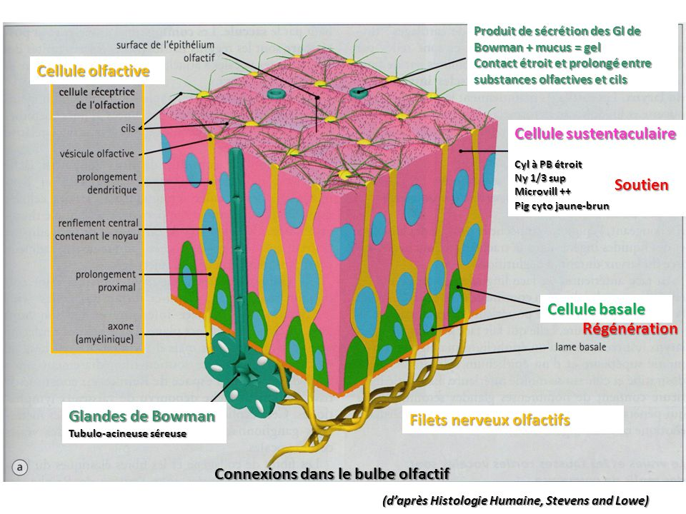 (d'après Histologie Humaine, Stevens and Lowe) Régénération Produit de sécrétion des Gl de Bowman + mucus = gel Contact étroit et prolongé entre substances olfactives et cils Cellule sustentaculaire Cyl à PB étroit Ny 1/3 sup Microvill ++ Pig cyto jaune-brun Cellule basale Cellule olfactive Filets nerveux olfactifs Connexions dans le bulbe olfactif Glandes de Bowman Tubulo-acineuse séreuse Soutien