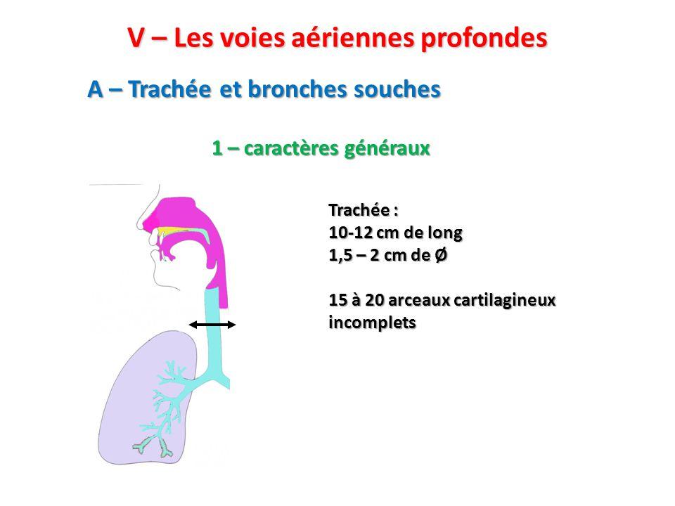 A – Trachée et bronches souches 1 – caractères généraux Trachée : 10-12 cm de long 1,5 – 2 cm de Ø 15 à 20 arceaux cartilagineux incomplets V – Les voies aériennes profondes