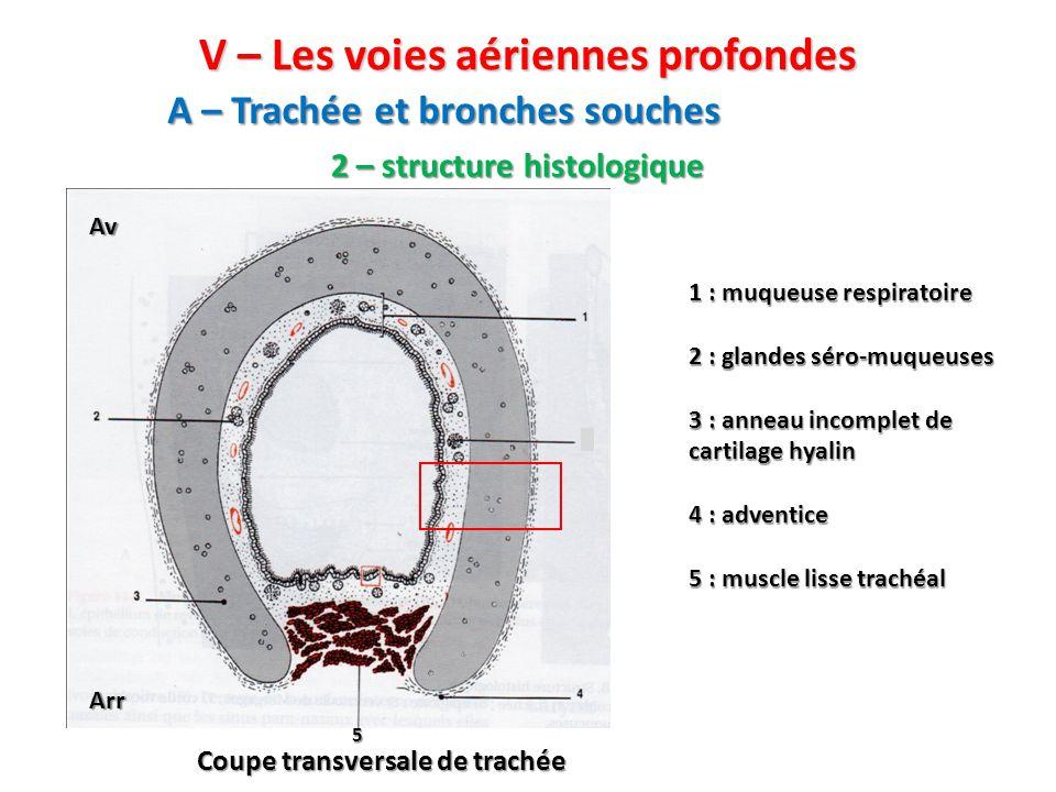 A – Trachée et bronches souches 2 – structure histologique Coupe transversale de trachée Av Arr 1 : muqueuse respiratoire 2 : glandes séro-muqueuses 3 : anneau incomplet de cartilage hyalin 4 : adventice 5 : muscle lisse trachéal V – Les voies aériennes profondes 5