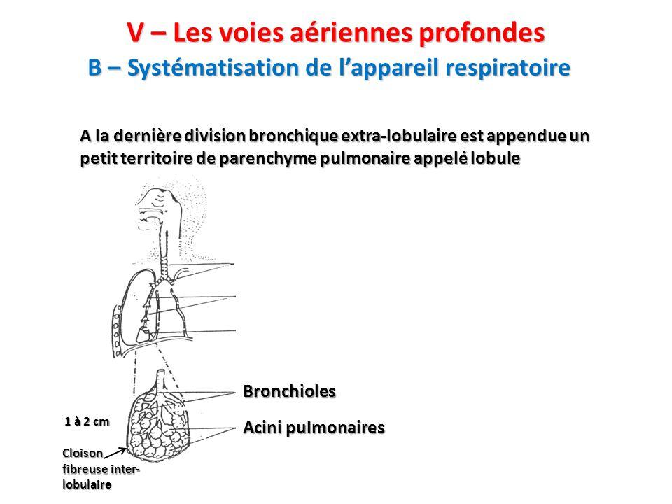 V – Les voies aériennes profondes A la dernière division bronchique extra-lobulaire est appendue un petit territoire de parenchyme pulmonaire appelé lobule 1 à 2 cm Cloison fibreuse inter- lobulaire Bronchioles Acini pulmonaires B – Systématisation de l'appareil respiratoire