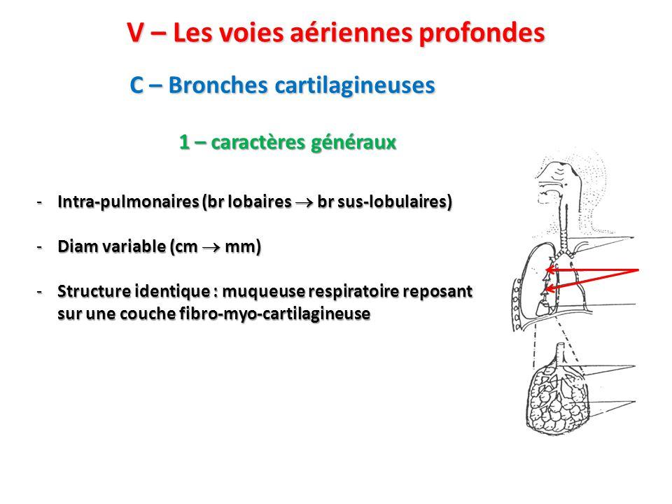 C – Bronches cartilagineuses V – Les voies aériennes profondes -Intra-pulmonaires (br lobaires  br sus-lobulaires) -Diam variable (cm  mm) -Structure identique : muqueuse respiratoire reposant sur une couche fibro-myo-cartilagineuse 1 – caractères généraux