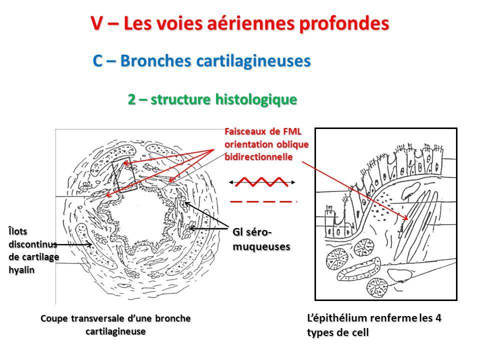 C – Bronches cartilagineuses V – Les voies aériennes profondes 2 – structure histologique Coupe transversale d'une bronche cartilagineuse L'épithélium renferme les 4 types de cell Îlots discontinus de cartilage hyalin Gl séro- muqueuses Faisceaux de FML orientation oblique bidirectionnelle