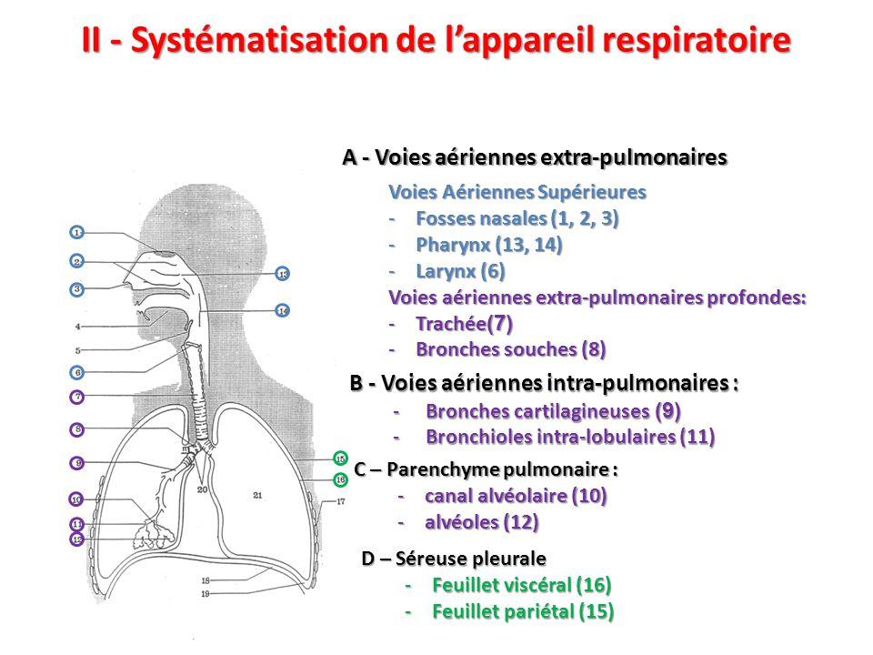 II - Systématisation de l'appareil respiratoire Voies Aériennes Supérieures -Fosses nasales (1, 2, 3) -Pharynx (13, 14) -Larynx (6) Voies aériennes extra-pulmonaires profondes: -Trachée (7) -Bronches souches (8) A - Voies aériennes extra-pulmonaires B - Voies aériennes intra-pulmonaires : -Bronches cartilagineuses (9) -Bronchioles intra-lobulaires (11) C – Parenchyme pulmonaire : -canal alvéolaire (10) -alvéoles (12) D – Séreuse pleurale -Feuillet viscéral (16) -Feuillet pariétal (15)