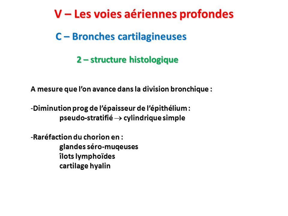 C – Bronches cartilagineuses V – Les voies aériennes profondes 2 – structure histologique A mesure que l'on avance dans la division bronchique : -Diminution prog de l'épaisseur de l'épithélium : pseudo-stratifié  cylindrique simple -Raréfaction du chorion en : glandes séro-muqeuses îlots lymphoïdes cartilage hyalin