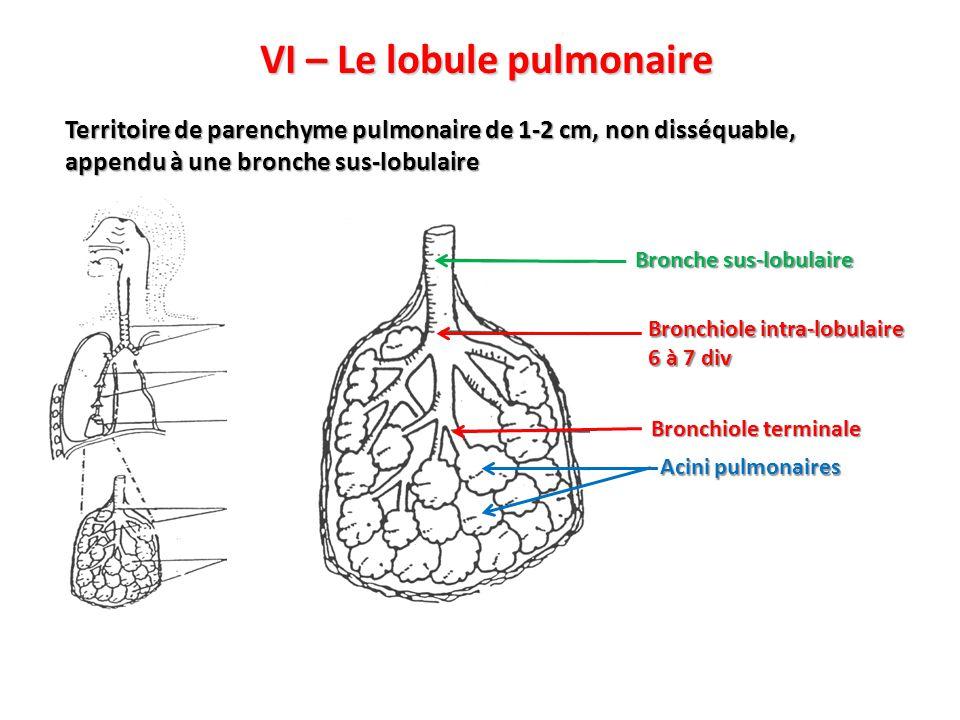 VI – Le lobule pulmonaire Territoire de parenchyme pulmonaire de 1-2 cm, non disséquable, appendu à une bronche sus-lobulaire Bronchiole intra-lobulaire 6 à 7 div Bronche sus-lobulaire Acini pulmonaires Bronchiole terminale