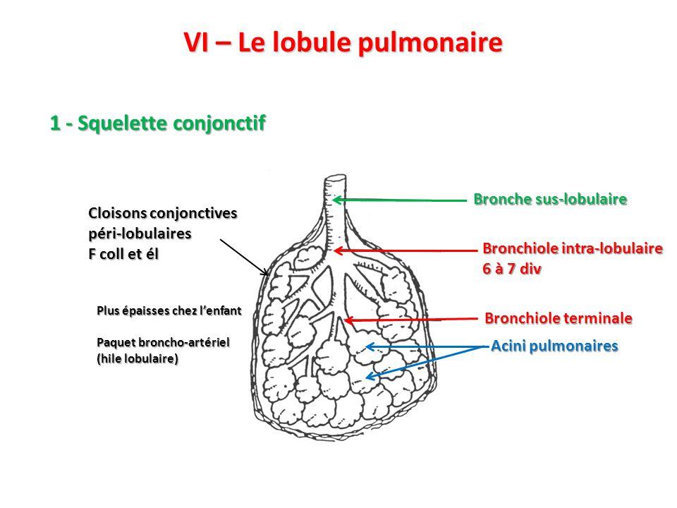 VI – Le lobule pulmonaire 1 - Squelette conjonctif Bronchiole intra-lobulaire 6 à 7 div Bronche sus-lobulaire Acini pulmonaires Bronchiole terminale Cloisons conjonctives péri-lobulaires F coll et él Plus épaisses chez l'enfant Paquet broncho-artériel (hile lobulaire)