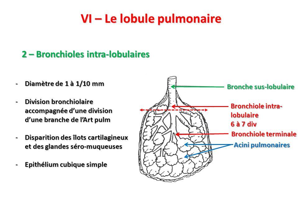 VI – Le lobule pulmonaire 2 – Bronchioles intra-lobulaires Bronchiole intra- lobulaire 6 à 7 div Bronche sus-lobulaire Acini pulmonaires Bronchiole terminale -Diamètre de 1 à 1/10 mm -Division bronchiolaire accompagnée d'une division d'une branche de l'Art pulm -Disparition des îlots cartilagineux et des glandes séro-muqueuses -Epithélium cubique simple