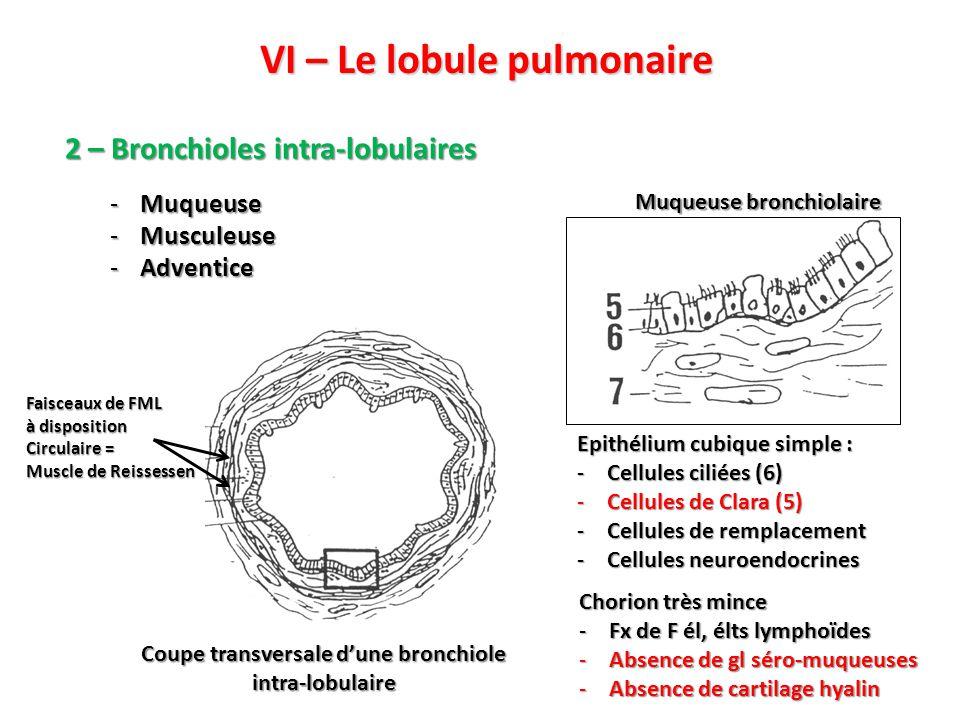 VI – Le lobule pulmonaire 2 – Bronchioles intra-lobulaires Coupe transversale d'une bronchiole intra-lobulaire Epithélium cubique simple : -Cellules ciliées (6) -Cellules de Clara (5) -Cellules de remplacement -Cellules neuroendocrines Faisceaux de FML à disposition Circulaire = Muscle de Reissessen -Muqueuse -Musculeuse -Adventice Chorion très mince -Fx de F él, élts lymphoïdes -Absence de gl séro-muqueuses -Absence de cartilage hyalin Muqueuse bronchiolaire