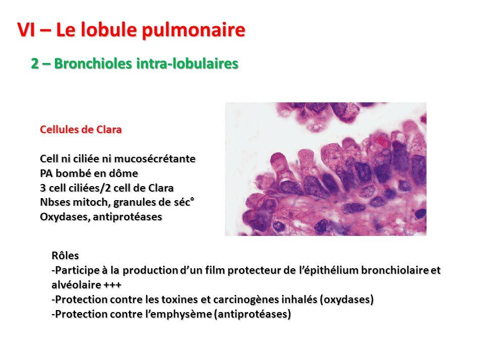 VI – Le lobule pulmonaire 2 – Bronchioles intra-lobulaires Cellules de Clara Cell ni ciliée ni mucosécrétante PA bombé en dôme 3 cell ciliées/2 cell de Clara Nbses mitoch, granules de séc° Oxydases, antiprotéases Rôles -Participe à la production d'un film protecteur de l'épithélium bronchiolaire et alvéolaire +++ -Protection contre les toxines et carcinogènes inhalés (oxydases) -Protection contre l'emphysème (antiprotéases)