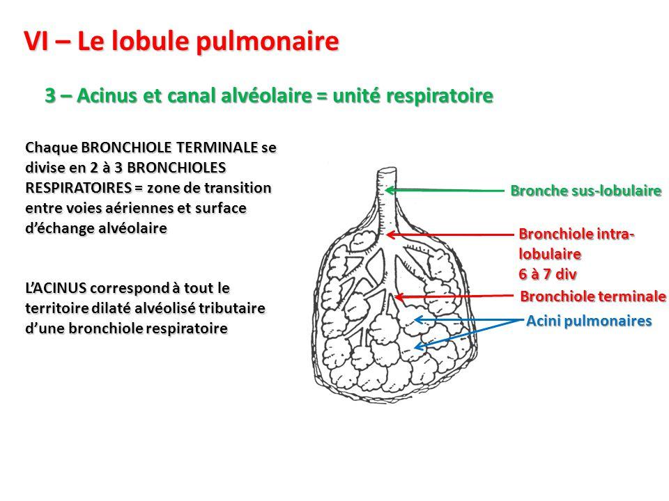 VI – Le lobule pulmonaire 3 – Acinus et canal alvéolaire = unité respiratoire Bronchiole intra- lobulaire 6 à 7 div Bronche sus-lobulaire Acini pulmonaires Bronchiole terminale Chaque BRONCHIOLE TERMINALE se divise en 2 à 3 BRONCHIOLES RESPIRATOIRES = zone de transition entre voies aériennes et surface d'échange alvéolaire L'ACINUS correspond à tout le territoire dilaté alvéolisé tributaire d'une bronchiole respiratoire
