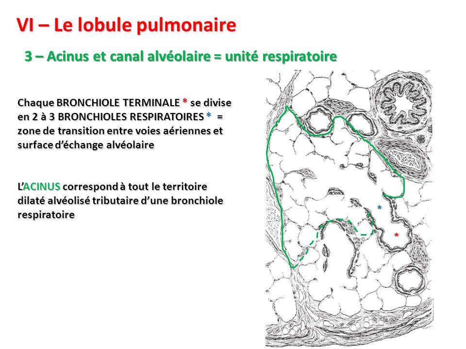 VI – Le lobule pulmonaire 3 – Acinus et canal alvéolaire = unité respiratoire Chaque BRONCHIOLE TERMINALE * se divise en 2 à 3 BRONCHIOLES RESPIRATOIRES * = zone de transition entre voies aériennes et surface d'échange alvéolaire L'ACINUS correspond à tout le territoire dilaté alvéolisé tributaire d'une bronchiole respiratoire * *
