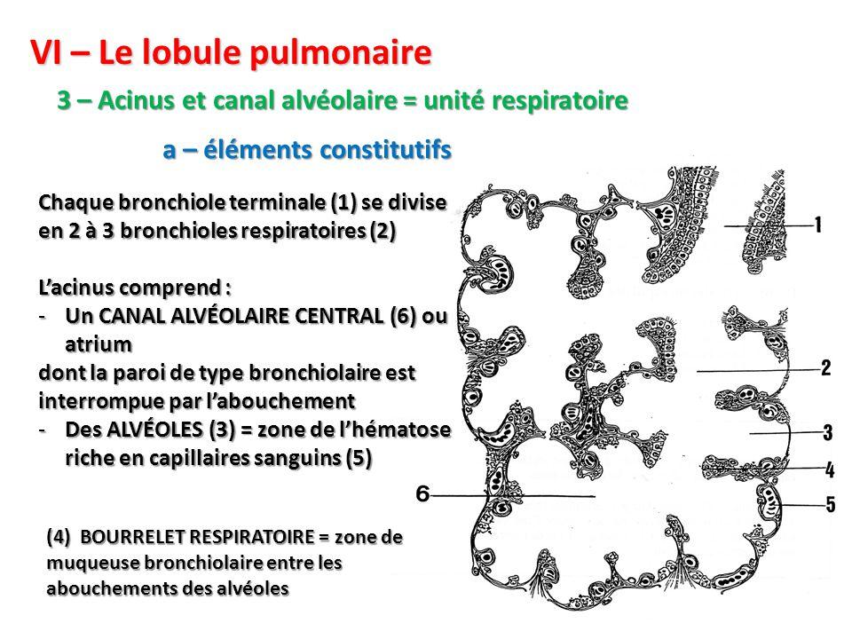 VI – Le lobule pulmonaire 3 – Acinus et canal alvéolaire = unité respiratoire Chaque bronchiole terminale (1) se divise en 2 à 3 bronchioles respiratoires (2) L'acinus comprend : -Un CANAL ALVÉOLAIRE CENTRAL (6) ou atrium dont la paroi de type bronchiolaire est interrompue par l'abouchement -Des ALVÉOLES (3) = zone de l'hématose riche en capillaires sanguins (5) (4) BOURRELET RESPIRATOIRE = zone de muqueuse bronchiolaire entre les abouchements des alvéoles a – éléments constitutifs