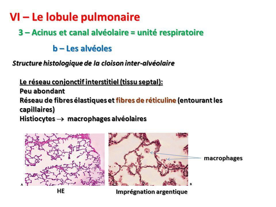 VI – Le lobule pulmonaire 3 – Acinus et canal alvéolaire = unité respiratoire Structure histologique de la cloison inter-alvéolaire b – Les alvéoles Le réseau conjonctif interstitiel (tissu septal): Peu abondant Réseau de fibres élastiques et fibres de réticuline (entourant les capillaires) Histiocytes  macrophages alvéolaires HE Imprégnation argentique macrophages