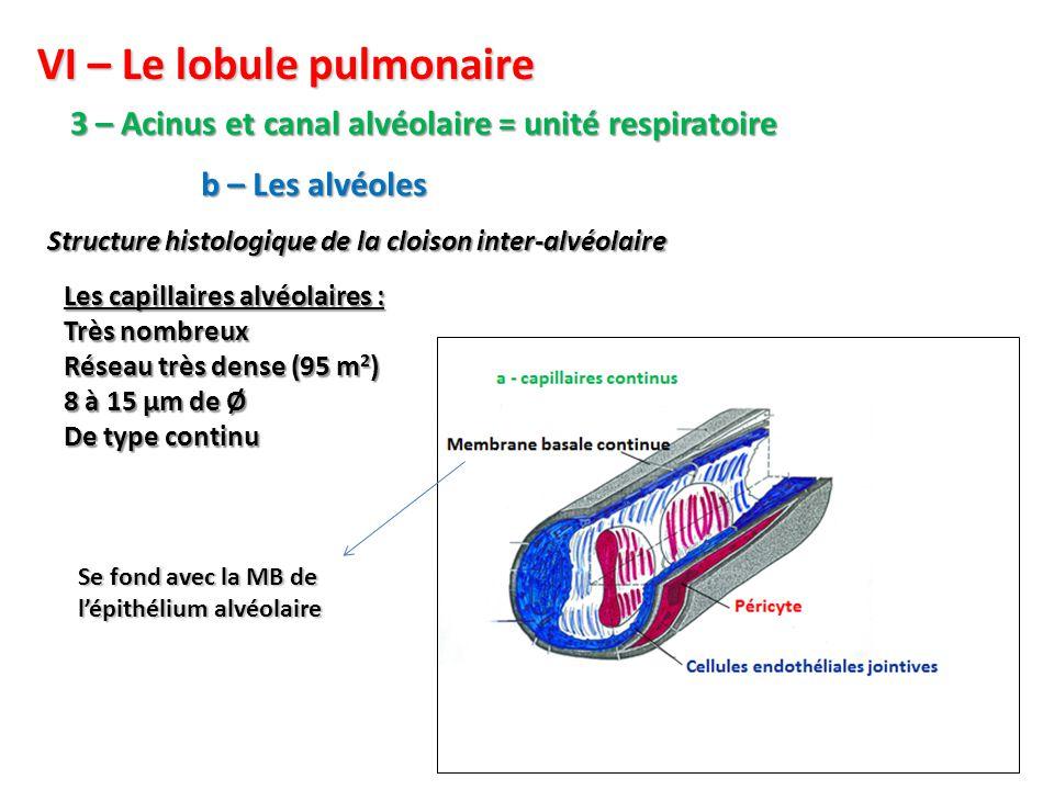 VI – Le lobule pulmonaire 3 – Acinus et canal alvéolaire = unité respiratoire Structure histologique de la cloison inter-alvéolaire b – Les alvéoles Les capillaires alvéolaires : Très nombreux Réseau très dense (95 m 2 ) 8 à 15 µm de Ø De type continu Se fond avec la MB de l'épithélium alvéolaire