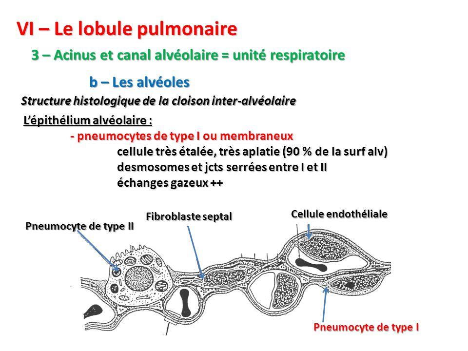 VI – Le lobule pulmonaire 3 – Acinus et canal alvéolaire = unité respiratoire Structure histologique de la cloison inter-alvéolaire b – Les alvéoles L'épithélium alvéolaire : - pneumocytes de type I ou membraneux cellule très étalée, très aplatie (90 % de la surf alv) desmosomes et jcts serrées entre I et II échanges gazeux ++ Pneumocyte de type I Cellule endothéliale Fibroblaste septal Pneumocyte de type II