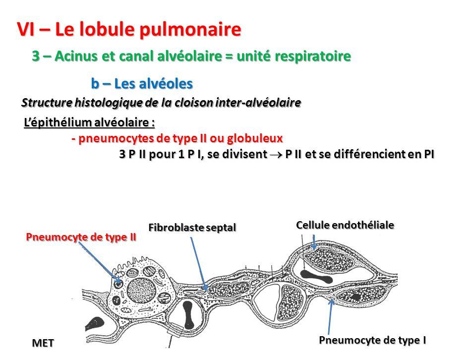 VI – Le lobule pulmonaire 3 – Acinus et canal alvéolaire = unité respiratoire Structure histologique de la cloison inter-alvéolaire b – Les alvéoles L'épithélium alvéolaire : - pneumocytes de type II ou globuleux 3 P II pour 1 P I, se divisent  P II et se différencient en PI Pneumocyte de type I Cellule endothéliale Fibroblaste septal Pneumocyte de type II MET