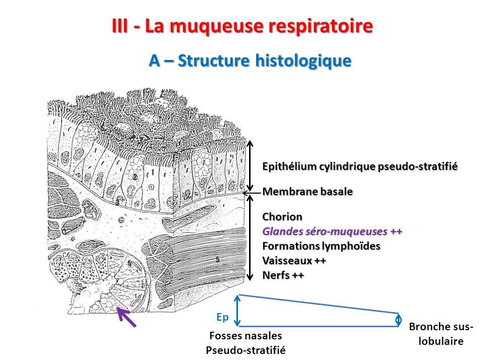 III - La muqueuse respiratoire C – Métaplasie malpighienne Ex : tabagisme -  cell ciliées et  cell caliciformes : bronchite chronique (expectoration et toux) -Remplacement de l'épithélium respiratoire (A) par un épithélium de revêtement, malpighien(B) : Métaplasie malpighienne Winterhalder R C et al.