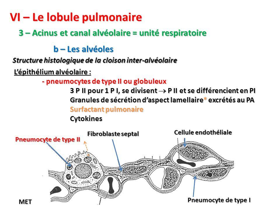 VI – Le lobule pulmonaire 3 – Acinus et canal alvéolaire = unité respiratoire Structure histologique de la cloison inter-alvéolaire b – Les alvéoles L'épithélium alvéolaire : - pneumocytes de type II ou globuleux 3 P II pour 1 P I, se divisent  P II et se différencient en PI Granules de sécrétion d'aspect lamellaire* excrétés au PA Surfactant pulmonaire Cytokines Pneumocyte de type I Cellule endothéliale Fibroblaste septal Pneumocyte de type II MET *