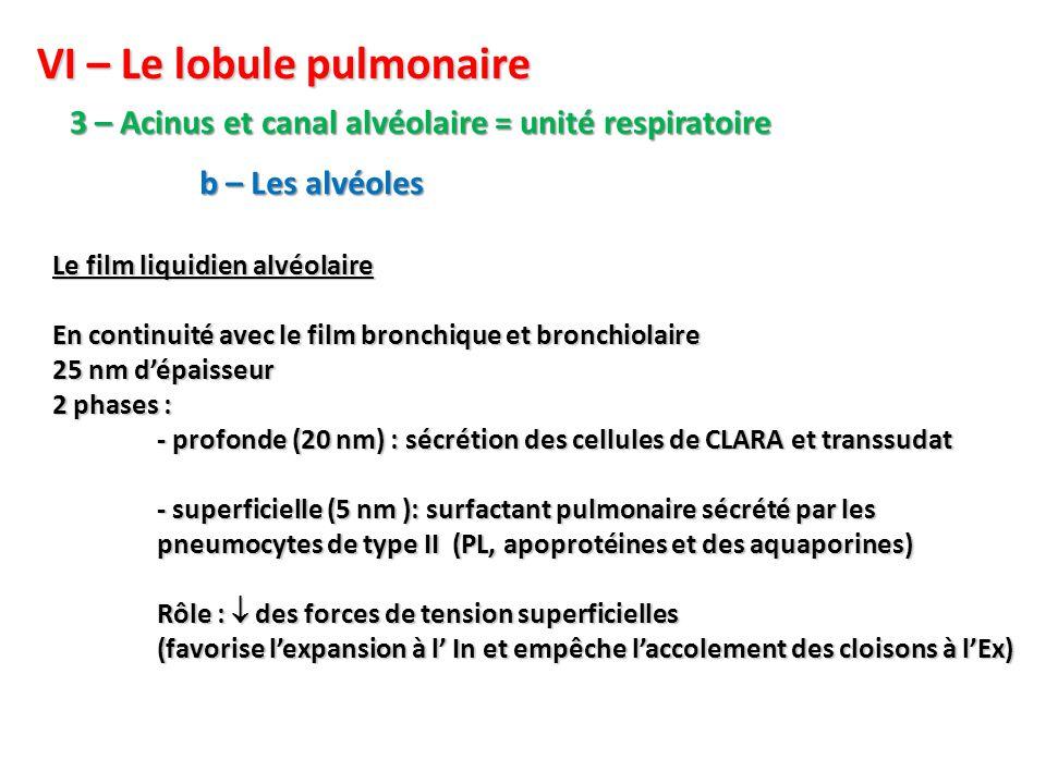 VI – Le lobule pulmonaire 3 – Acinus et canal alvéolaire = unité respiratoire b – Les alvéoles Le film liquidien alvéolaire En continuité avec le film bronchique et bronchiolaire 25 nm d'épaisseur 2 phases : - profonde (20 nm) : sécrétion des cellules de CLARA et transsudat - superficielle (5 nm ): surfactant pulmonaire sécrété par les pneumocytes de type II (PL, apoprotéines et des aquaporines) Rôle :  des forces de tension superficielles (favorise l'expansion à l' In et empêche l'accolement des cloisons à l'Ex)