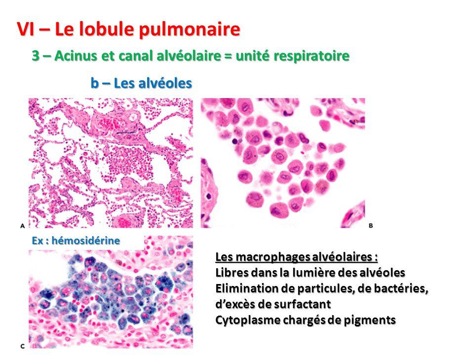 Les macrophages alvéolaires : Libres dans la lumière des alvéoles Elimination de particules, de bactéries, d'excès de surfactant Cytoplasme chargés de pigments VI – Le lobule pulmonaire 3 – Acinus et canal alvéolaire = unité respiratoire b – Les alvéoles Ex : hémosidérine