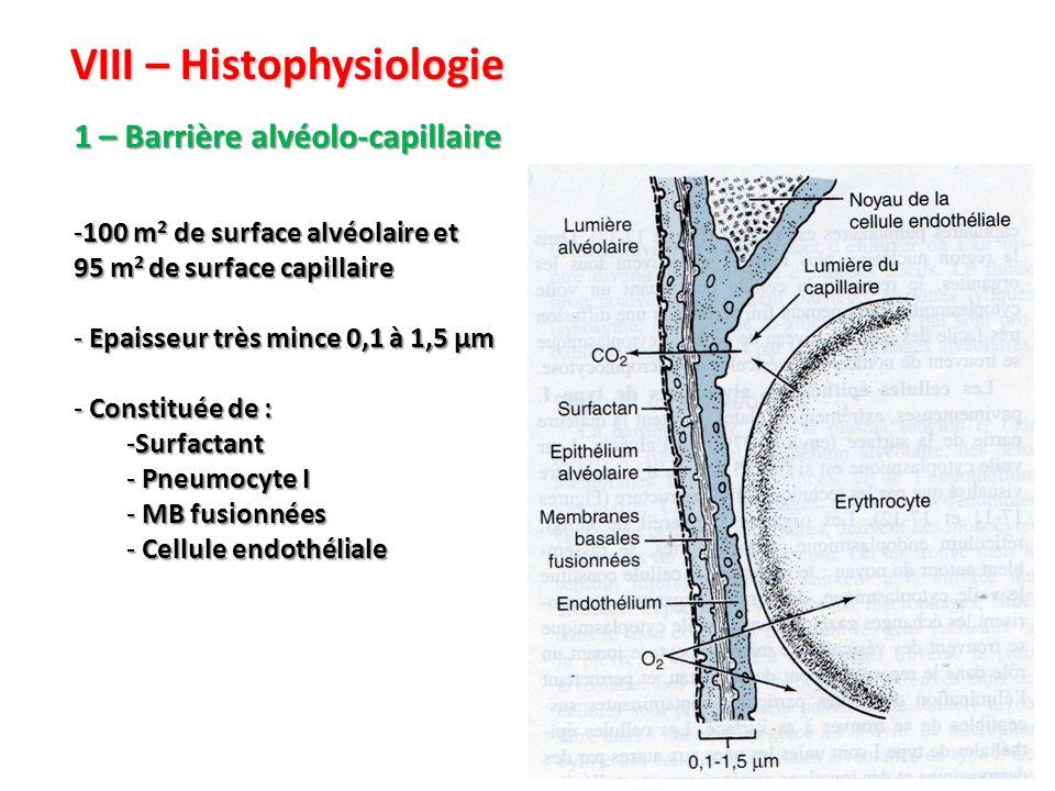 VIII – Histophysiologie 1 – Barrière alvéolo-capillaire -100 m 2 de surface alvéolaire et 95 m 2 de surface capillaire - Epaisseur très mince 0,1 à 1,5 µm - Constituée de : -Surfactant - Pneumocyte I - MB fusionnées - Cellule endothéliale