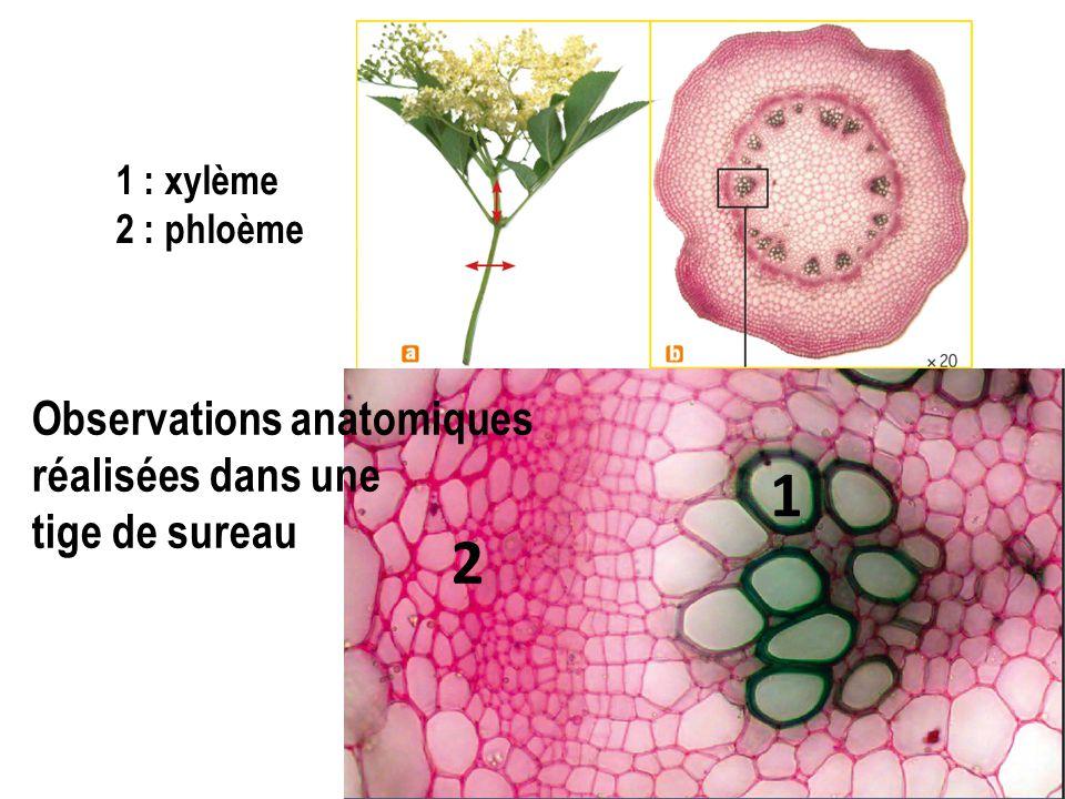 Comment l'organisation de la plante lui permet-elle, tout en étant fixée, de faire circuler des racines vers les feuilles les éléments nutritifs de manière efficace ?