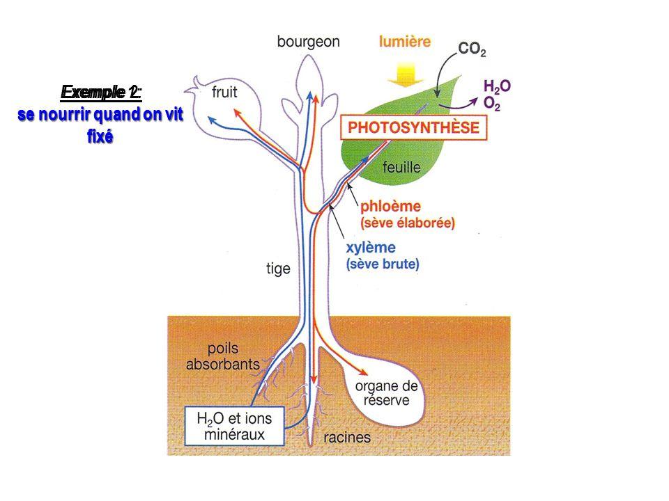 En conclusion : réponse à la pb Savoir schématiser Savoir schématiser les adaptations de la plante à son milieu en matière de nutrition: ►les différents organes végétaux ► les circulations de matière entre la plante et son environnement ► les circulations de matière entre les organes de la plante